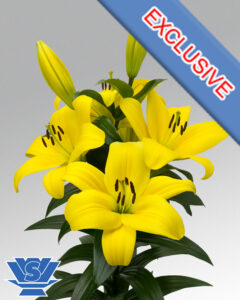 ta-lilum-flowerbulbs