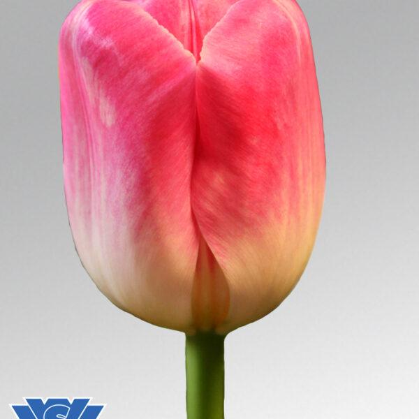 tulip piet sijm flowerbulbs