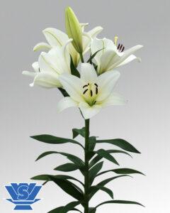 la-lilum-flowerbulbs