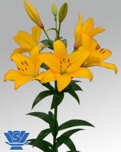 beau-soleil-flowerbulbs-lilium