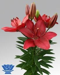 pot-lily-buzzer-flowerbulbs