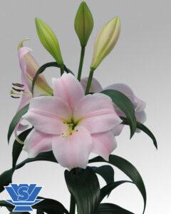 cali-lilium-flowerbulbs-lo