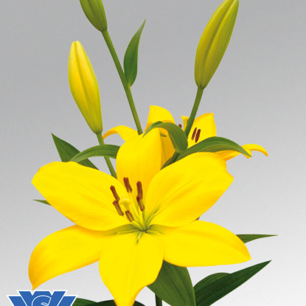 lilium-flowerbulbs-cevennes
