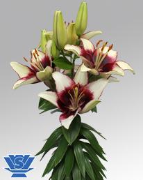 curitiba-lilium-flowerbulbs