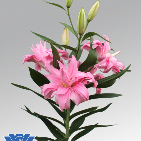 diantha-double-lilium-flowerbulbs