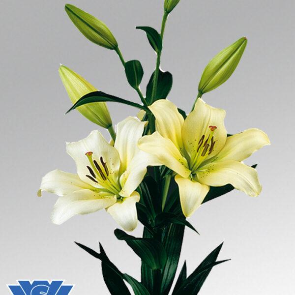 lilium-ercolano-vws