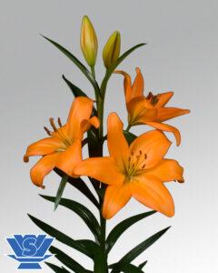 lilium-eremo-flowerbubls
