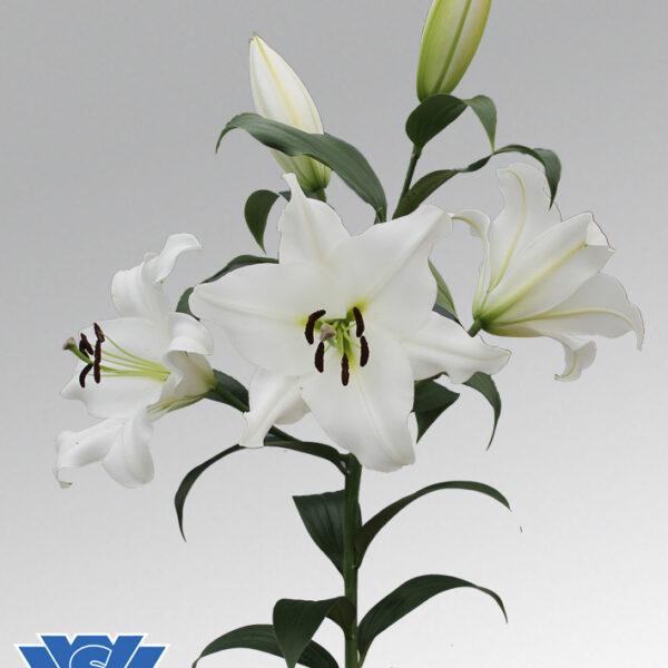 lilium-franson