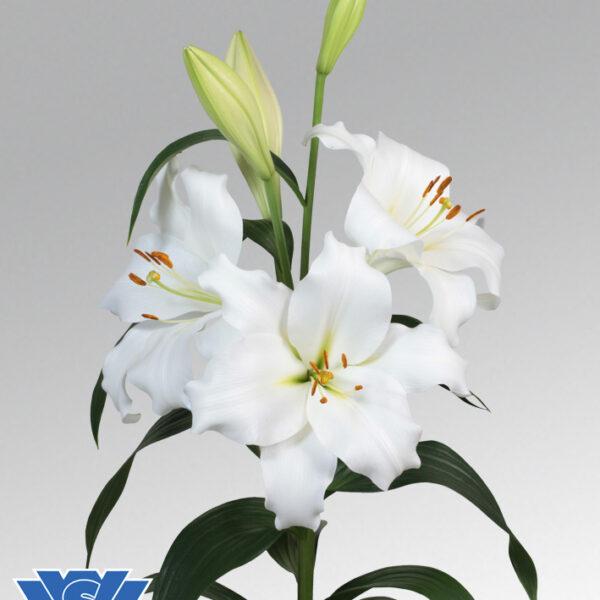 lilium-fredo-vws-flowerbulbs