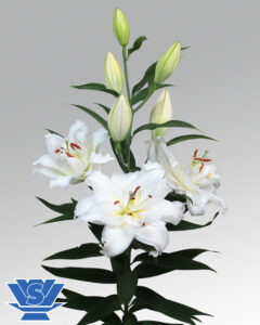 double-lilium-guapa