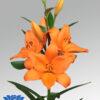 lilium flowerbulb idaho