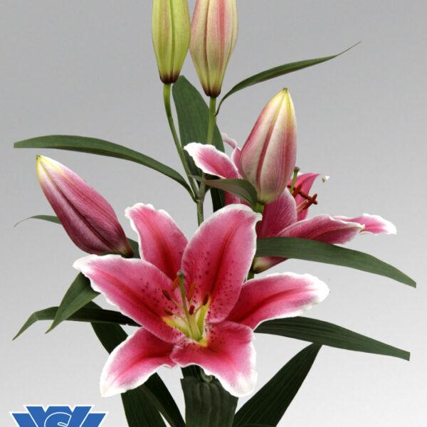 lilium-joop-flowerbulbs
