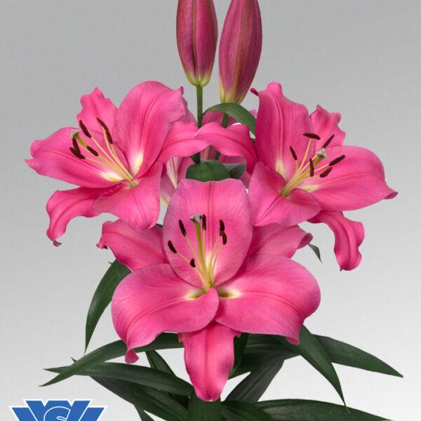 lilium-loverstown-flowerbulbs