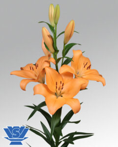 lilium-menton-flowerbulbs