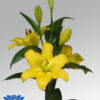 lilium-nashville-flowerbulbs