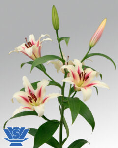 lililum-nymph-flowerbulbs