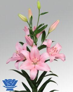 lilium-paciano-flowerbulbs