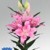 lilium-praiano-flowerbulbs