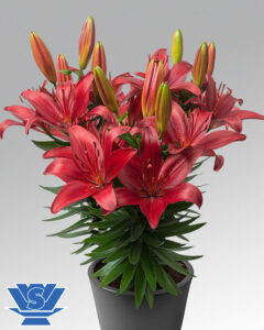 pot-lilium-red-matrix