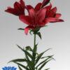 lilium-red-rock-flowerbulbs