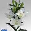 lilium-scansano-flowerbulbs