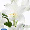 lilium-show-up-flowerbulbs