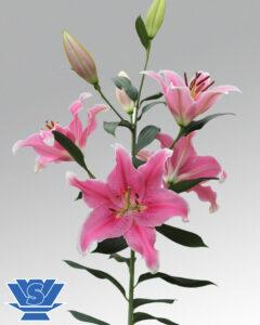 lilium-sorbonne-oriental-flowerbulbs