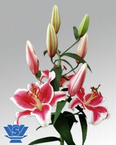 lilium-starfighter-oriental
