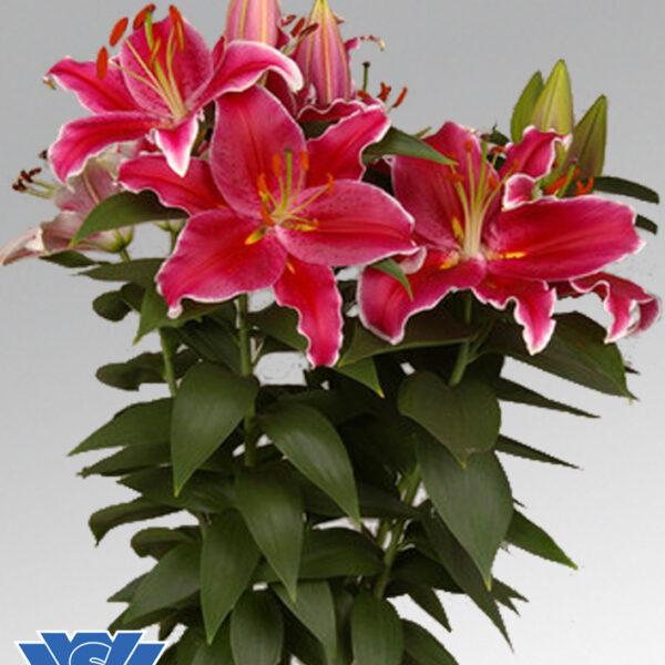 potlilium-starlight-express