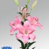 lilium-tirreno-flowerbulbs