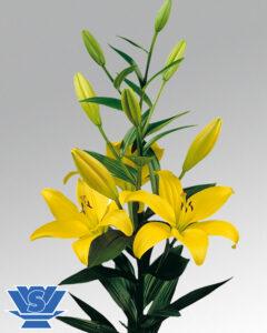 lilium pavia la-hybrid