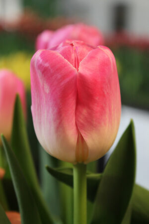 TULIP (untreated)