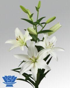 lilium arcachon