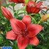 lililum calabria