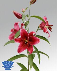 lilium corvara