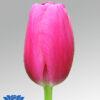 tulip anna conda
