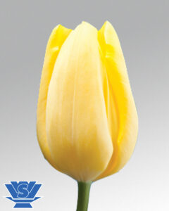tulip avocado