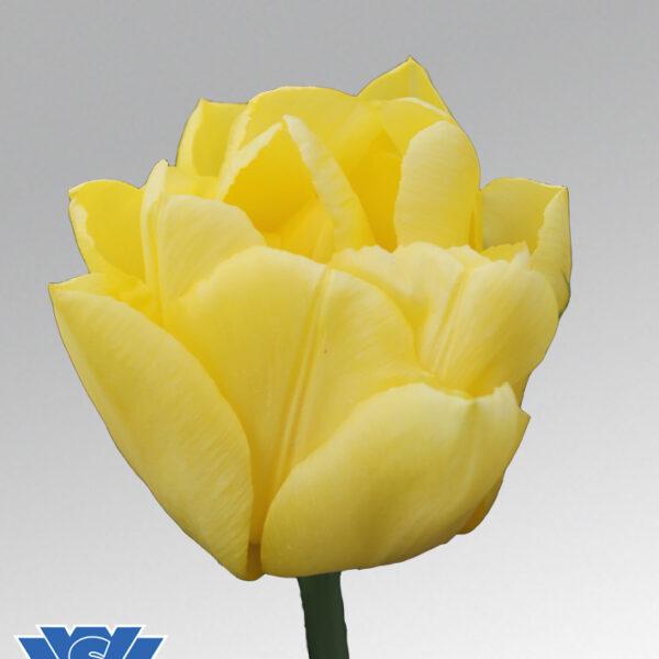 tulip cadenza