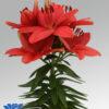 asiatic pot lilium cascavel