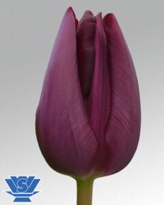 tulip caviar