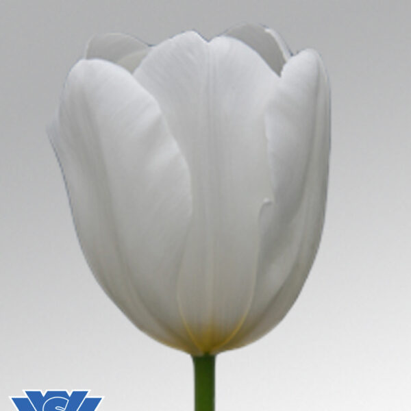tulip clearwater