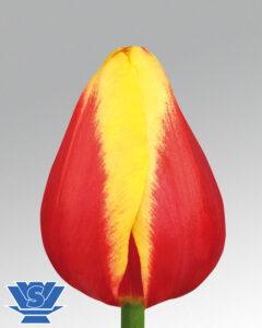 tulip denmark