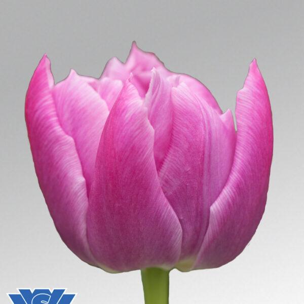 tulip double price