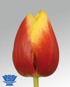 tulip dow jones