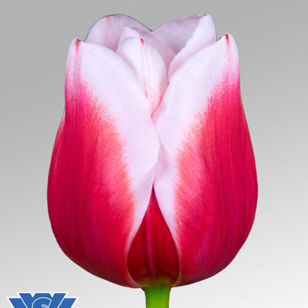 tulip dutch design