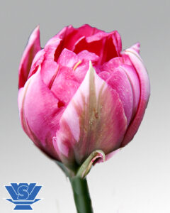 tulip flashpoint