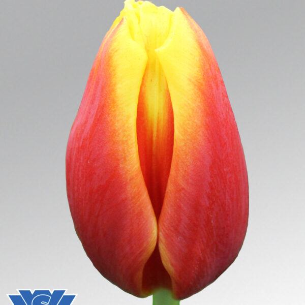 tulip hennie van der most