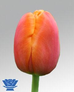 tulip icoon