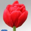 tulip largo