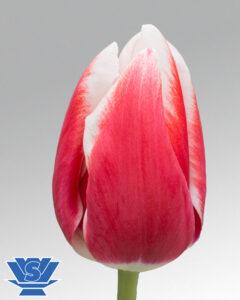 tulip lech walesa